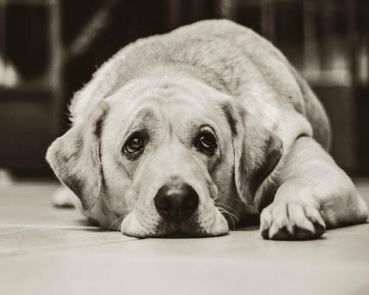 smutny-pies