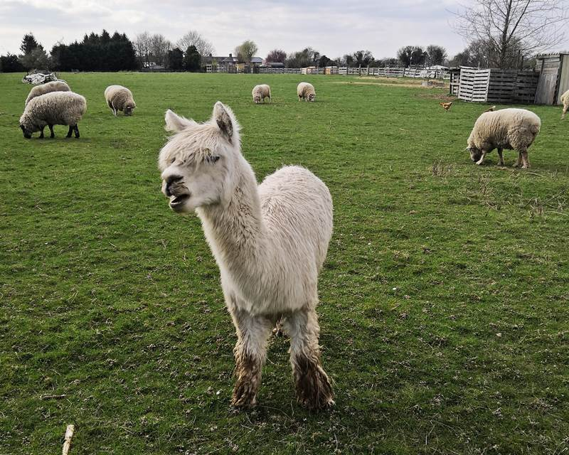 alpaca friend farm